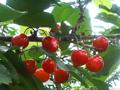 chuko_fruitsland